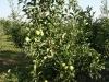 Фото 4 - 5-летнее дерево яблони сорта Голден Делишес Рейнджер