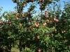 Фото 7 - Плодоношение 6-летних деревьев яблони сорта Лобо