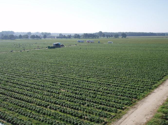 Промышленная плантация земляники садовой