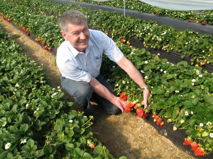 Журавич Эдвард (Польша) демонстрирует новые сорта земляники