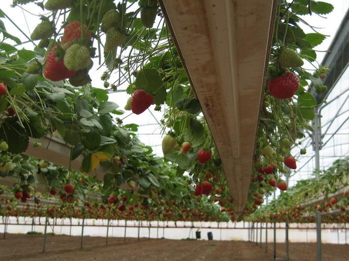 Теплица по выращиванию земляники