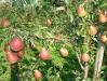 81-plodonosyashhyaya-vetv-grushi-sorta-dikolor-na-podvoe-gr_1.jpg
