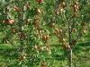 83-plodonoshenie-pyatiletnix-derevev-grushi-sorta-dikolo_1.jpg