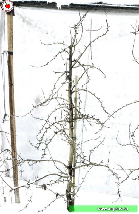 Груша Ноябрьская
