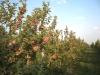 Интенсивные сады на полукарликовых и карликовых подвоях