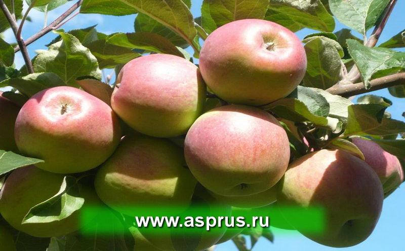Яблоки АСП-РУС