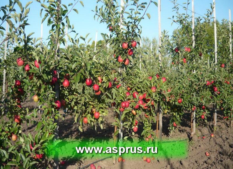 Плодоносящий сад яблони на слаборослом подвое