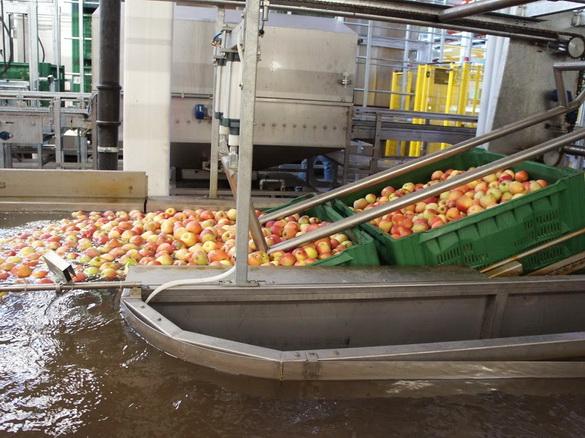 Привезенные из садов контейнеры погружаются в воду для  деликатного изъятия яблок, после чего плоды по водной дорожке поступают на  первый этап сортировки