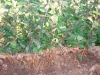 Фото 2. Вид клоновых подвоев Р 14 с корневой системой  в органическом субстрате - опилках