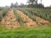 Фото 4. Органический субстрат - опилки еловых пород перед механическим окучиванием