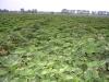 Фото 1. Маточник земляники при выращивании рассады фриго