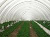 Фото 4. Пленочные теплицы для выращивания внесезонной земляники
