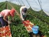 Фото 7. Сбор качественной ягоды в пленочной теплице (Испания)