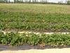 Фото 28.  Плодоношение плантации земляники в  ЗАО Виктория 92, Краснодарского края