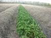 Фото 36. Укрытие плантации земляники в зимний период соломой