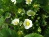 Фото 37. Обильное цветение сорта Эльсанта