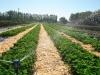 Фото 39. Полив плантации земляники сплинклерами