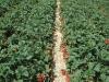 Фото 40. Плодоносящая плантация земляники