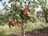 Плодоношение яблони в интенсивном саду