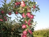 Фото 13. Пазушное плодоношение плодового звена в объемной кроне при применении шоковой омолаживающей обрезки