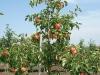 Фото 15. Концевое плодоношение трехлетних деревьев сорта Жигулевское на подвое 62-396