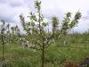Фото 9. Пазушноен цветение двухлетних деревьев сорта Гала Маст.