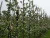 Фото 18. Шпалерно-карликовый сад яблони