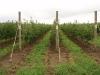 Фото 19. Уплотненный шпалерно-карликовый суперинтенсивный сад яблони сорта Голден Делишес на подвое Р22 (Сад- Гигант)