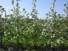 Фото 20. Цветение 4-летнего сада яблони сорта Лобо на подвое Р60