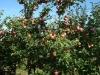 Фото 21. Плодоношение 7-летних деревьев сорта Лобо на подвое 54-118 (высота окулировки 20 см)