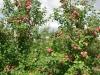 Фото 22. Плодоношение 8-летних деревьев сорта Лобо на подвое 57-545