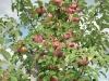 Фото 23. Плодоношение 8-летних деревьев яблони сорта Лобо на подвое 62-396