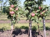 Фото 24. Плодоношение 2-х летних деревьев яблони сорта лобо на подвое Р22