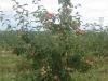 Фото 25. Безопорный тип сада с формировкой Новое русское веретено