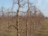 Фото 26. Вид деревьев с формировкой Новое русское веретено