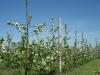 Фото 27. Шпалерно-карликовый сад с формировкой модифицированное стройное веретено