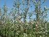 Фото 28. Шпалерно- карликовый сад с формировкой компактное веретено