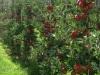 Фото 29. Интенсивный шпалерно-карликовый сад (Бельгия)