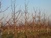 Фото 31. Вид деревьев яблони сорта Спартан на подвое 62-396 с формировкой Модифицированное веретено