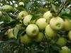 Фото 37. Плодоношение плодового звена сорта Голден делишес