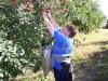 Фото 47. Уборка плодов с помощью плодовых сумок