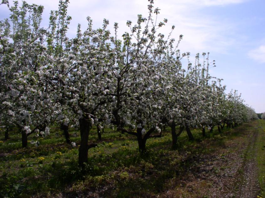 Фото 1. Промышленный сад яблони с модифицированной полуплоской формировкой