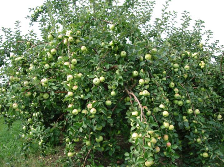 Фото 9. Плодоношение деревьев яблони сорта Богатырь с формировкой модифицированная полуплоская
