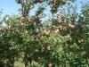Фото 16. Плодоношение деревьев сорта Лобо на подвое 57-545