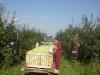 Фото 19. Уборка с применением контейнеровоза в ООО Ровенские сады