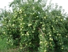 Наклон плодоносящих ветвей под весом плодов