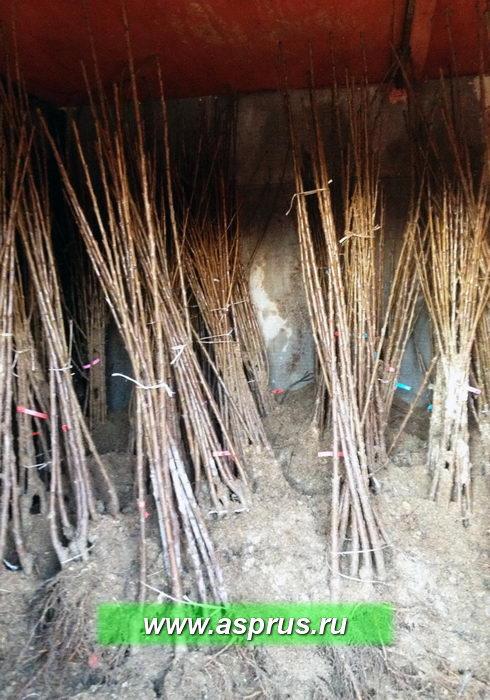 Высокое качество саженцев вишни и черешни, готовых к продаже