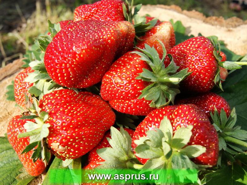 Высококачественные плоды земляники садовой, выращенные на плантации по интенсивной технологии