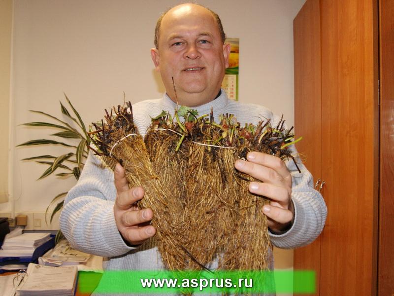 Муханин Игорь Викторович демонстрирует высокое качества рассады земляники фриго, подготовленной к реализации