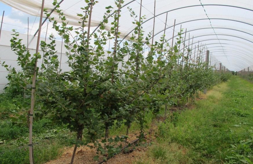 Выращивание смородины штамбовым способом 25
